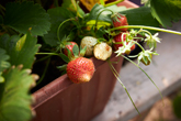 Strawberries in our polytunnel