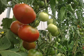 Tomatoes in our polytunnel